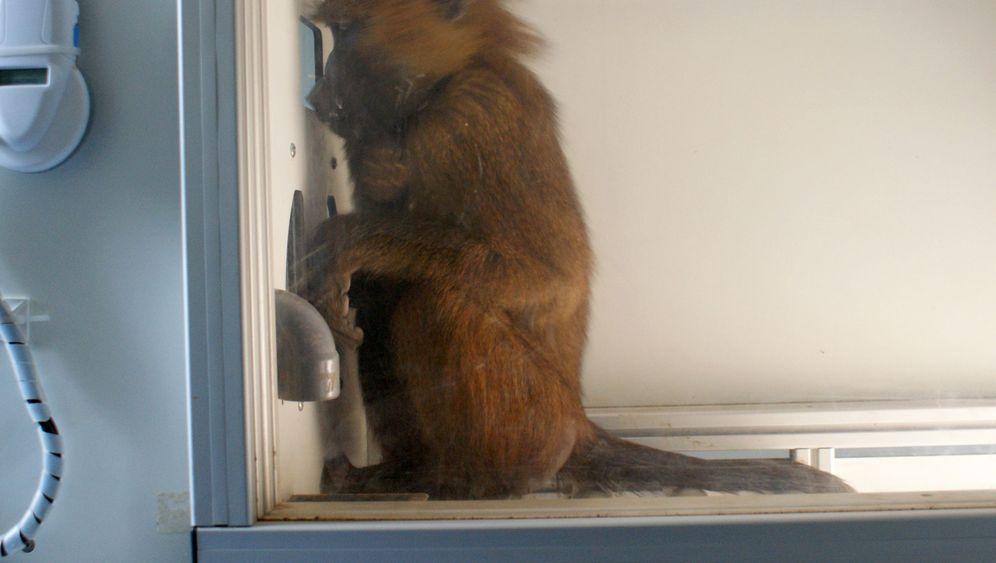 Schlaue Affen: Paviane beim Lesetraining