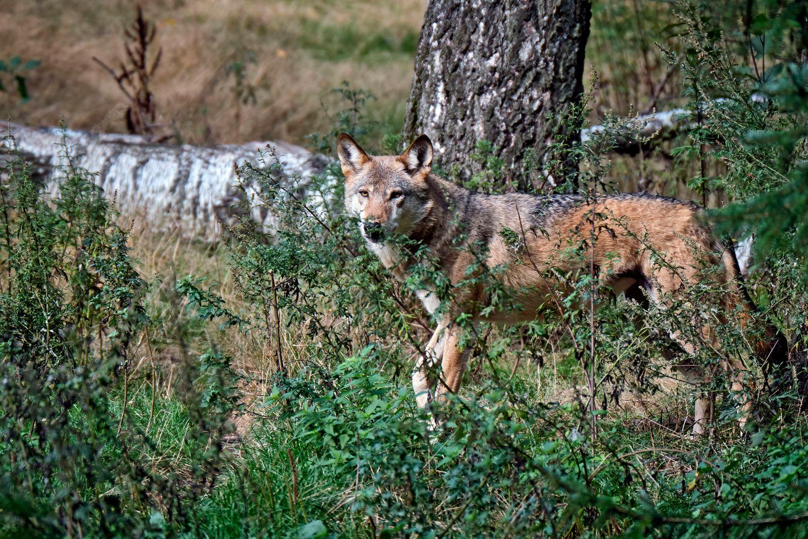 Wildgatter Oberrabenstein ( Chemnitz ). Ein Europäischer Wolf ( Canis lupus ) im Wildgatter Oberrabenstein ( Chemnitz ).