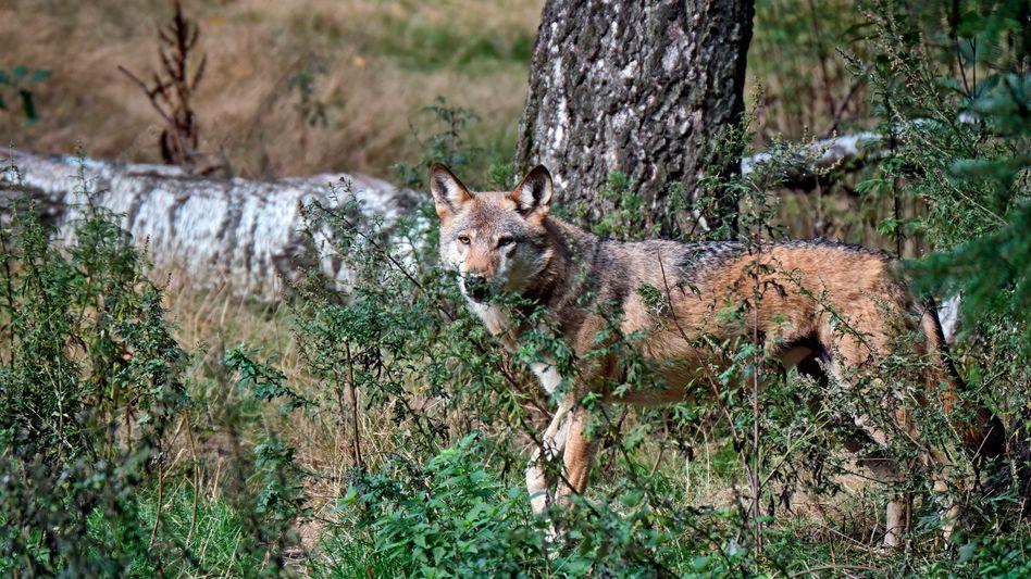 Europäischer Wolf (Symbolbild)
