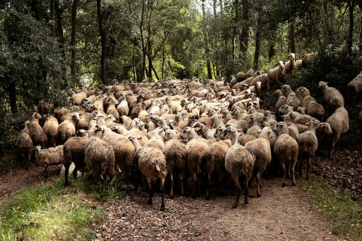A herd of sheep in a forest near Vallgorguina, Spain.