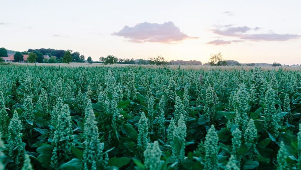 Quinoa: Das Gold der Inkas aus Westfalen