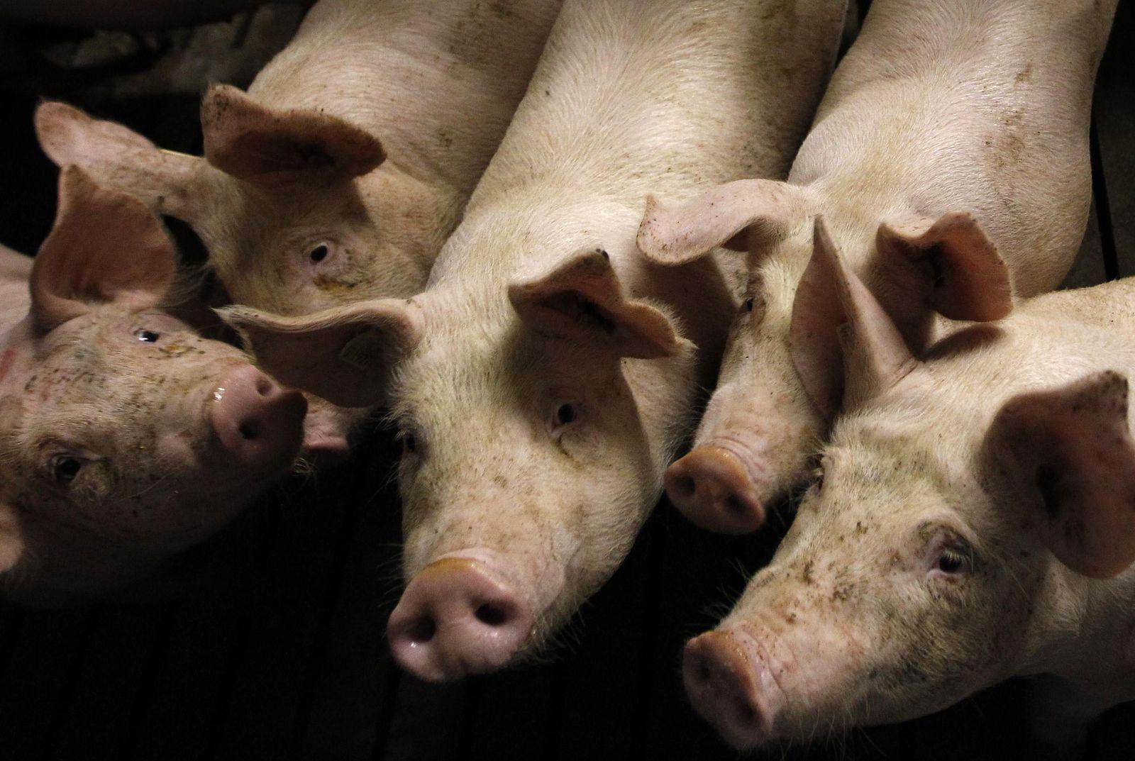 Dioxin-Skandal / Schweine