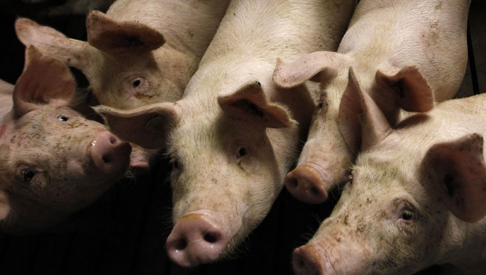 Schwein auf einem Hof: Hunderte Betriebe von neuem Dioxin-Fall betroffen