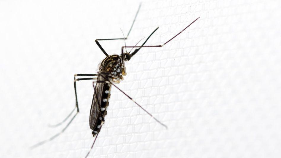 Ein Weibchen der neu in Wiesbaden entdeckten Mückenart