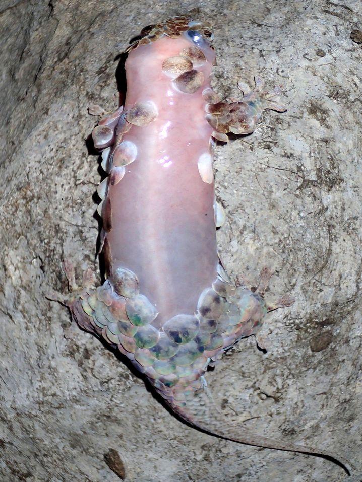 Der Gecko häutet sich bei Gefahr