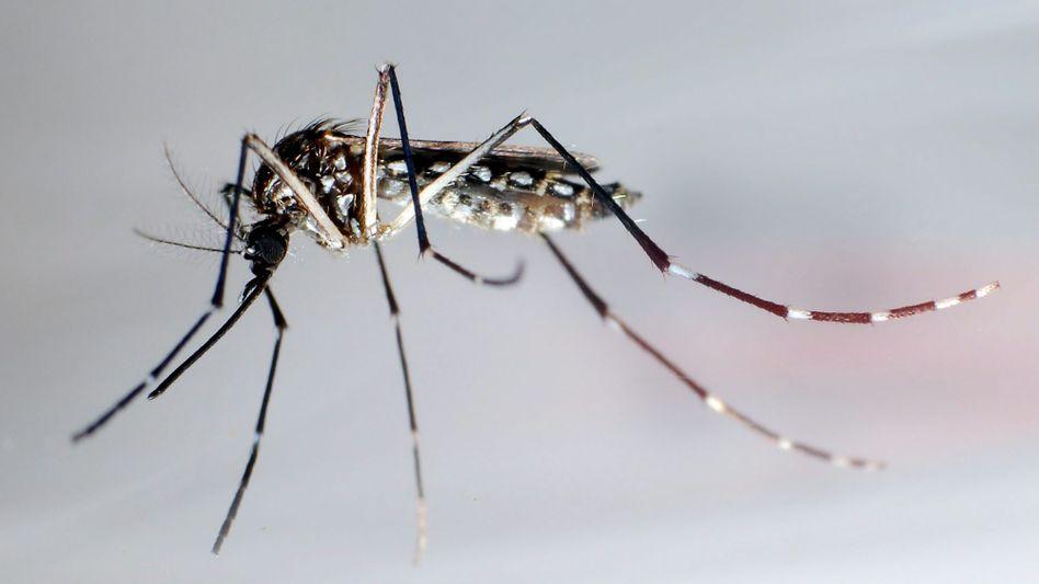 Die Mücke Stegomyia aegypti: Trägt das Dengue-Virus von Mensch zu Mensch