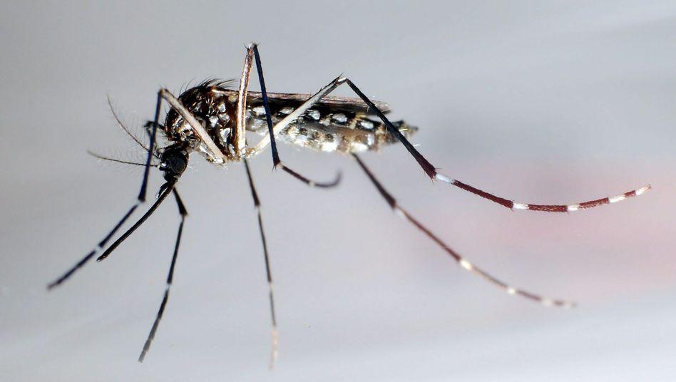 Gefährlicher Stich: Mosquitos übertragen das Denguefieber