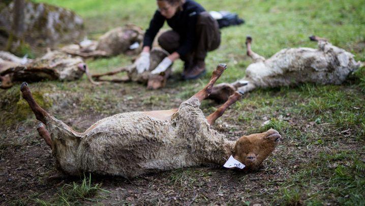 40 Schafe tot: Angriff auf Herde
