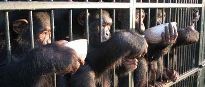 Porridge für die Schimpansen: Fütterung auf Ngamba