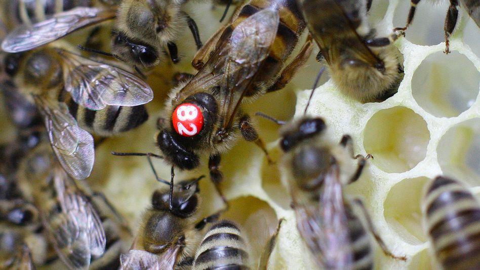 Bienenkönigin und Arbeiterinnen: Gleiche Gene, unterschiedliche Ausprägung