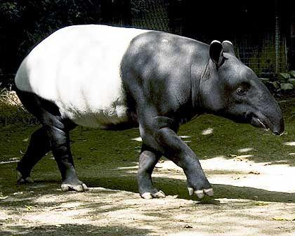 Auch für einen Vortrag gut: Tapir