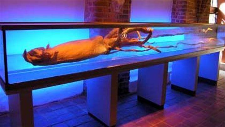 Kolossale Kopffüßer: Zehnarmige Jäger der Meere