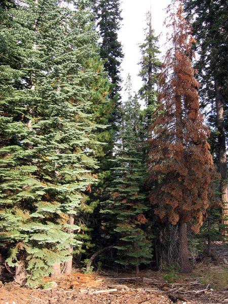 Sequoia National Park (Kalifornien): Stärkerer Befall durch Schädlinge