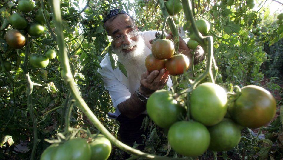 Tomatenanbau in der Nähe des Westjordanlands: Extra-Label für die Produkte?