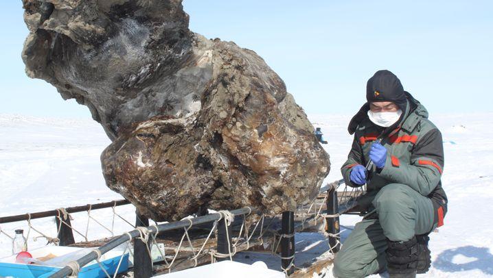 Klonen: Mammut-Fund fasziniert russische Forscher