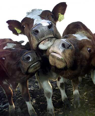 """Kühe: """"Freundschaftliches"""" Verhalten beobachtet"""