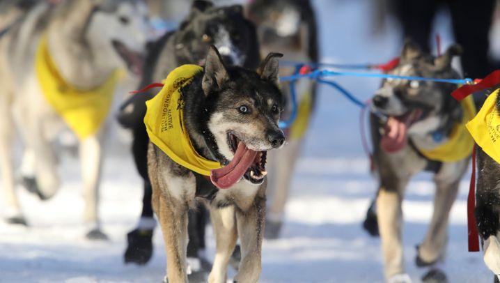 Iditarod-Rennen 2017: Sieger mit 57