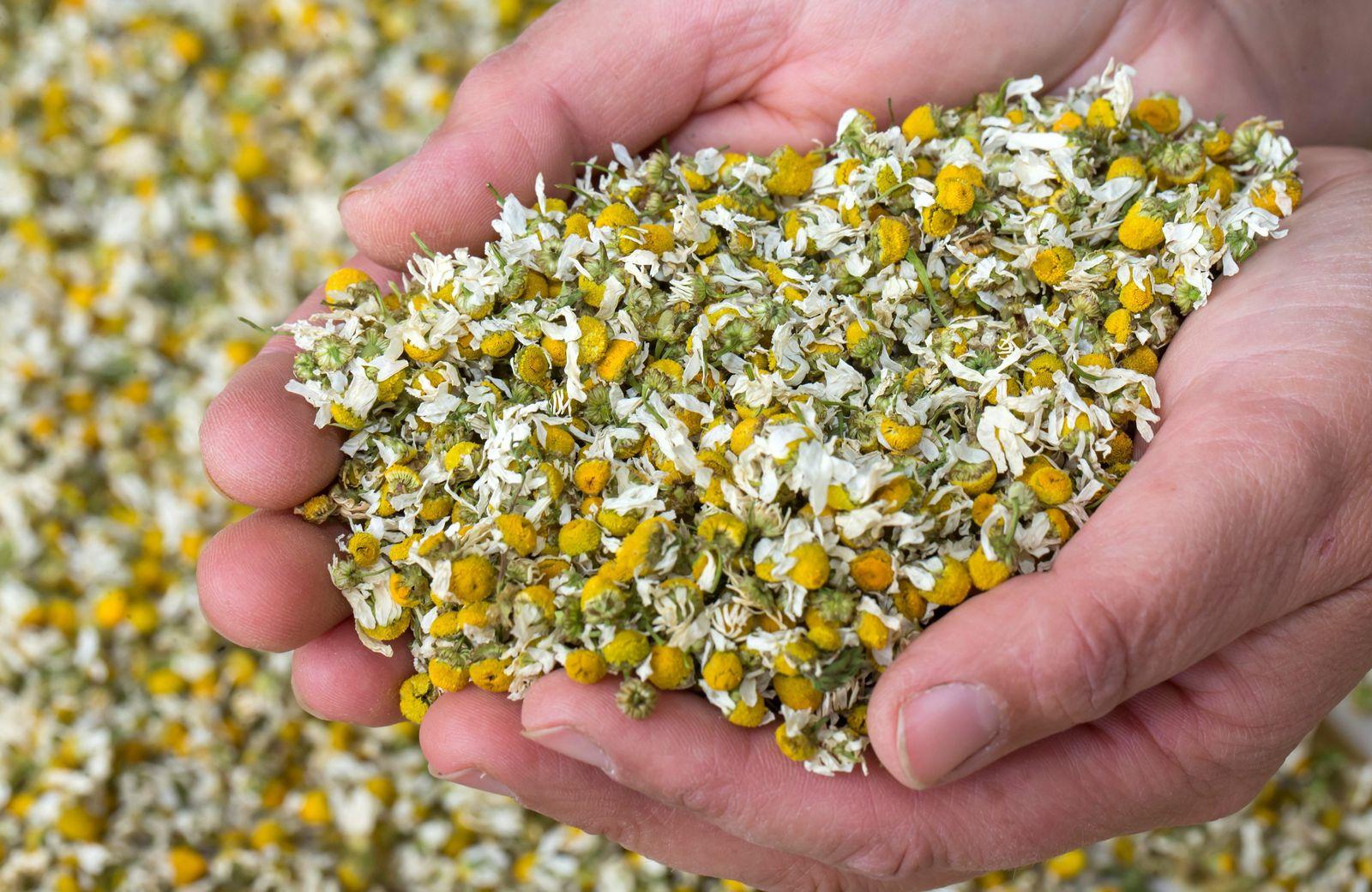 Arzneimittelpflanzen / Kamille