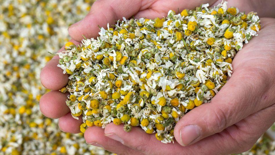 Blüten der Kamille: Schon die Neandertaler kannten die wirksame Heilpflanze