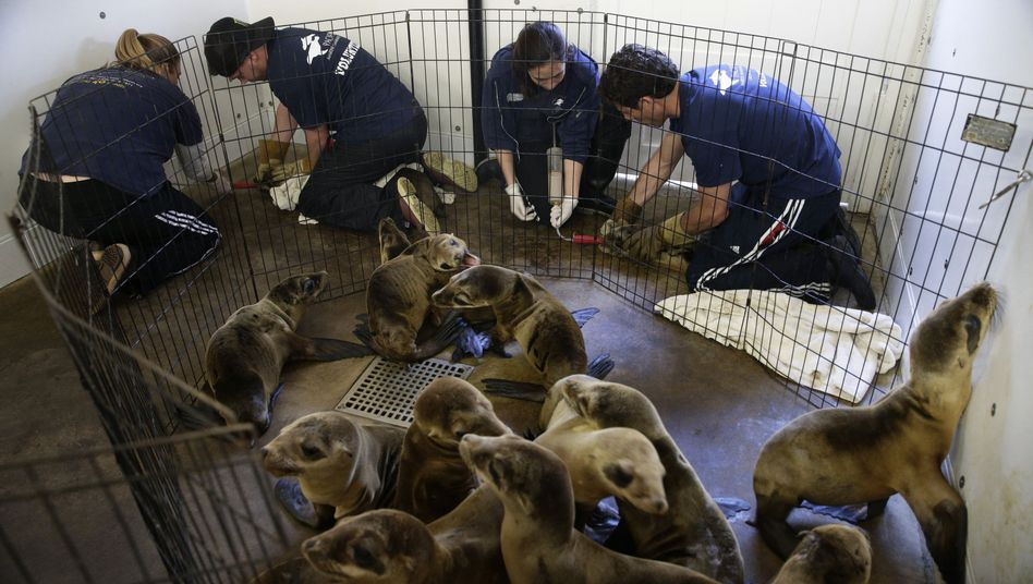 Kaliforniens Küste: HunderteSeelöwenbabys gestrandet