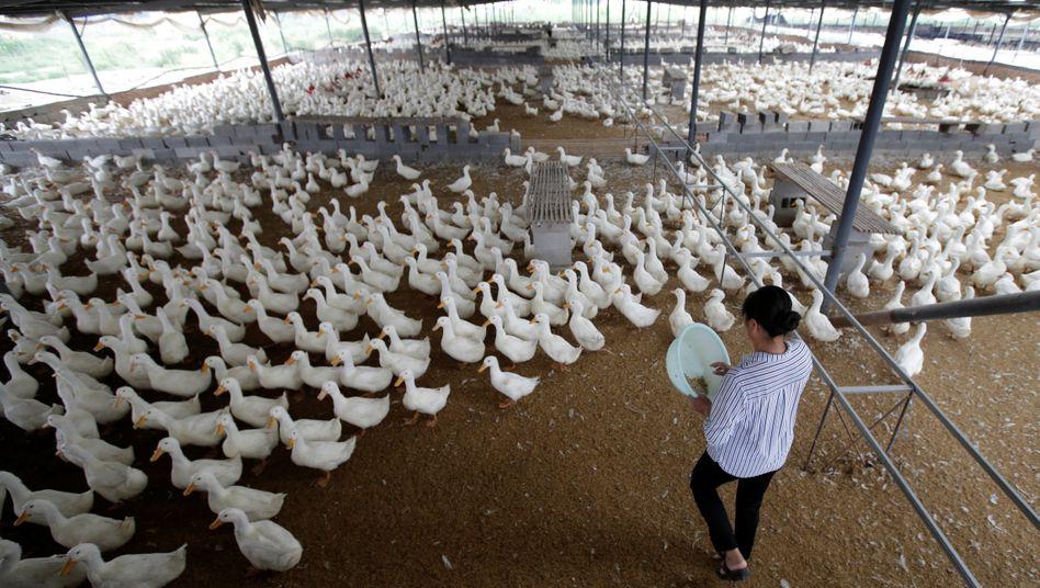 Entenfarm in der chinesischen Provinz Shandong (Archivbild): Ein Vogel frisst mehr als 200 Heuschrecken pro Tag
