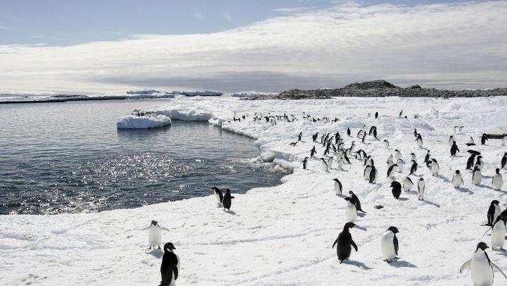 Adeliepinguine: Eisberg lässt Vögel verschwinden