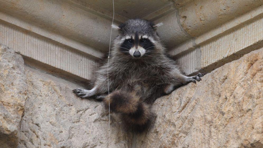 Photo Gallery: Raccoons Ransack Germany