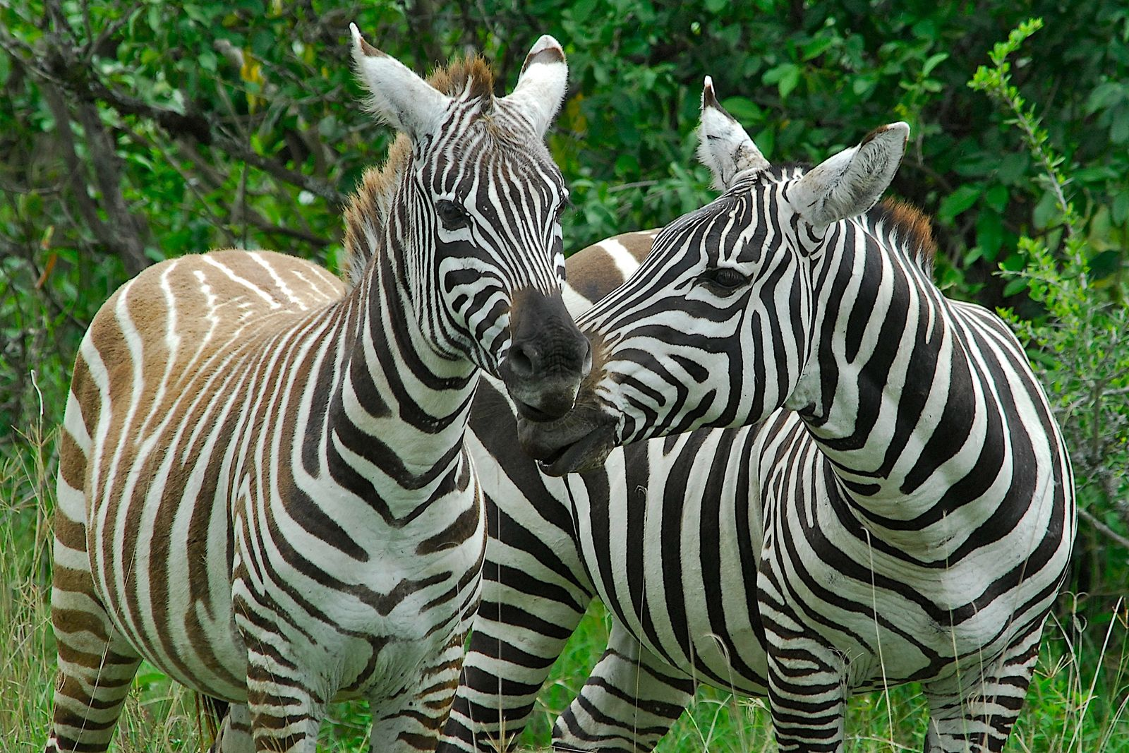 Kenia / Zebra