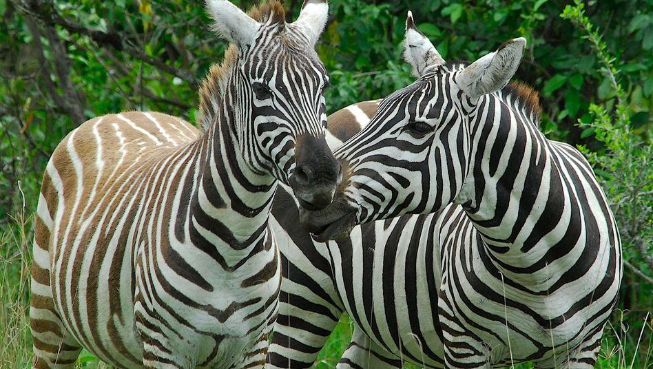 Streifen im richtigen Abstand: Zebras halten sich Bremsen vom Leib