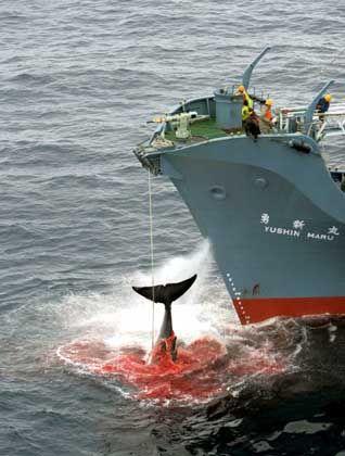 Japanisches Walfangschiff (Archiv-Foto): Kommerzieller Walfang bleibt auch künftig verboten