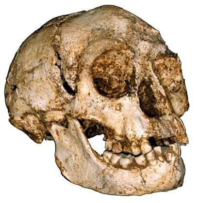 """Schädel des Homo floresiensis: """"Ich bin völlig verblüfft"""""""