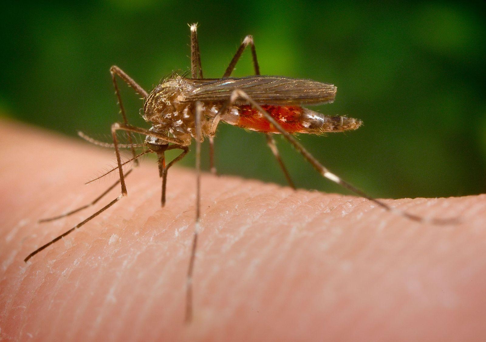 NICHT VERWENDEN EINMALIGE VERWENDUNG Buschmücke Aedes japonicus)