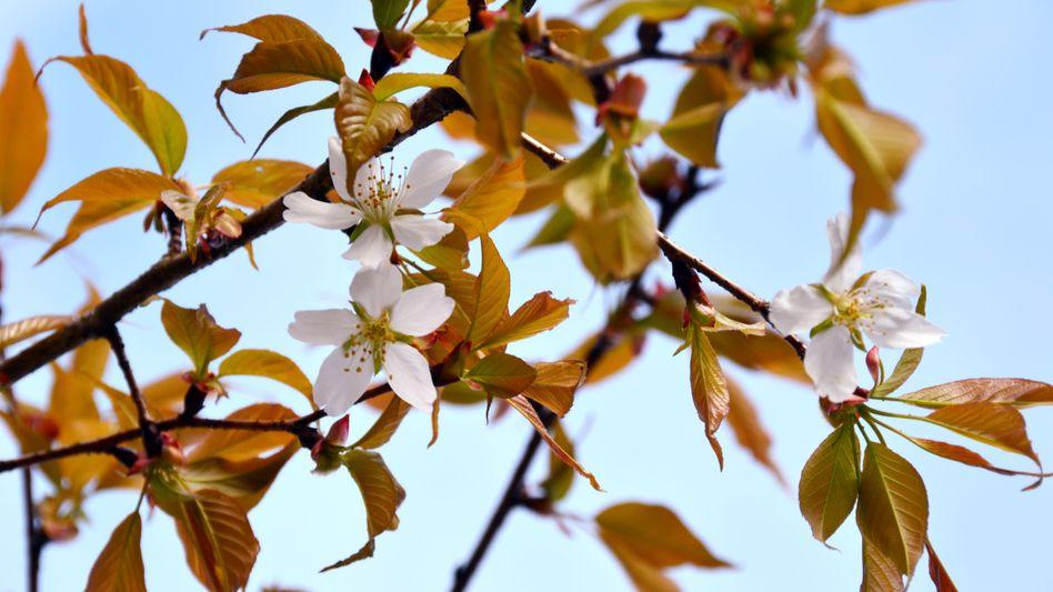 Kirschbaum: Spielt kosmische Strahlung für den Blütenstand eine Rolle?