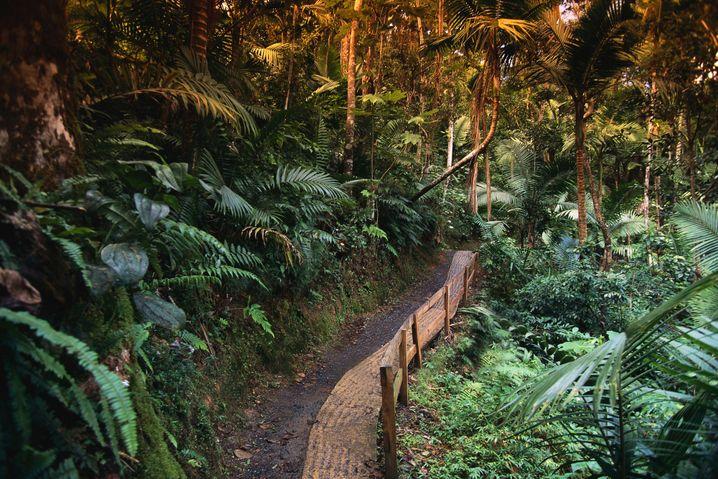 El-Yunque-Nationalpark: Das Pfeifen der Coquí