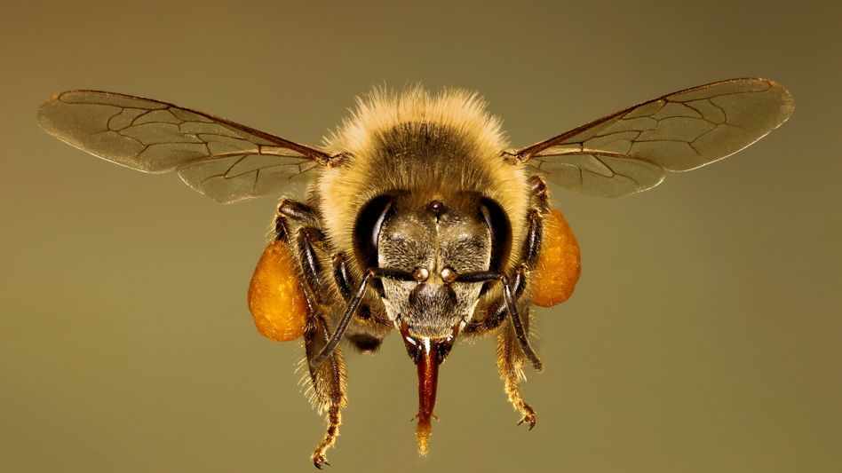 Missverständnis: Honigbienen sind nicht bedroht