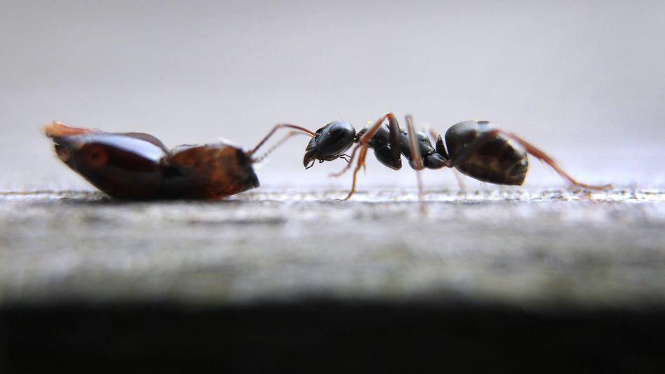 Auf Futtersuche: Eine Ameise streckt ihre Fühler nach einem Teil eines toten Insektes aus.