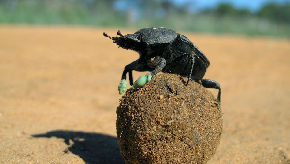 Ein Käfer der Art Scarabaeus: Drehen auf Dung