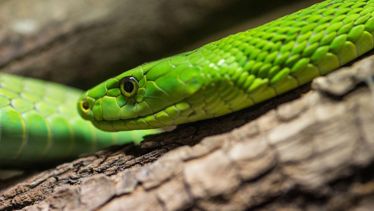 Schlangenhaut Kreuzworträtsel