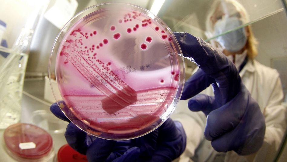 Ehec-Bakterienkultur (Archivbild): Furcht vor Lebensmittelskandalen steigt