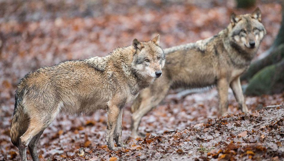 Wölfe in Niedersachsen (Archivfoto)