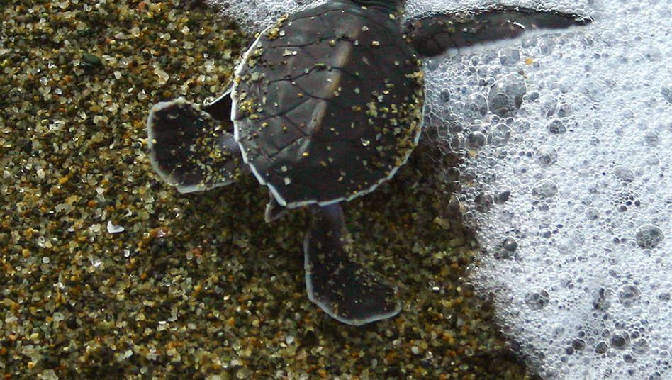 Junge Meeresschildkröte auf dem Weg ins Wasser: Trickreicher Einsatz der Beine