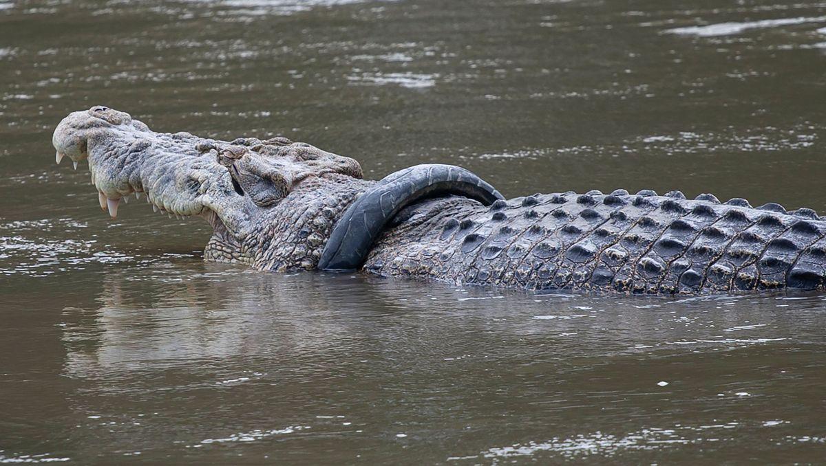 Indonesien: Krokodil steckt in Reifen - Belohnung für Rettung