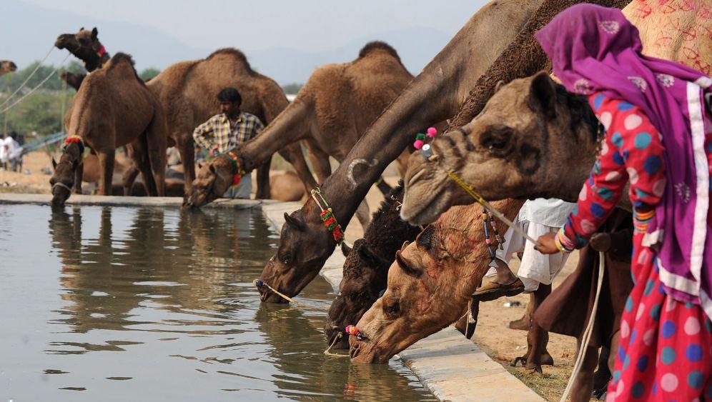 Pushkar-Markt in Indien: Unter Kamelen