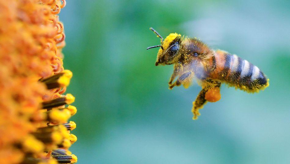 Biene im Anflug auf eine blühende Sonnenblume (Archiv)