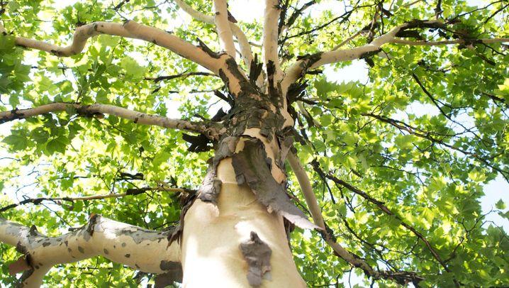 Platanen: Bäume ohne Rinde