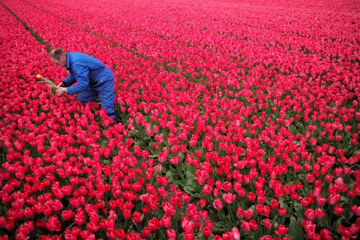 Tulpenzüchter in den Niederlanden (Archivaufnahme)