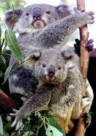 Koalas: Kommt der Exekutionsbefehl?