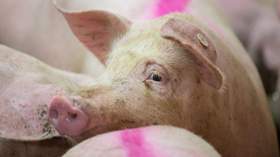 Schweine in einem Betrieb der Initiative Tierwohl