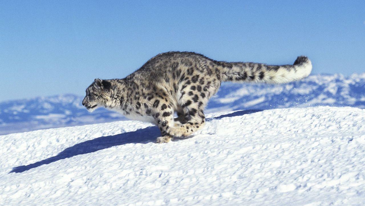 Schneeleopard Lebensraum