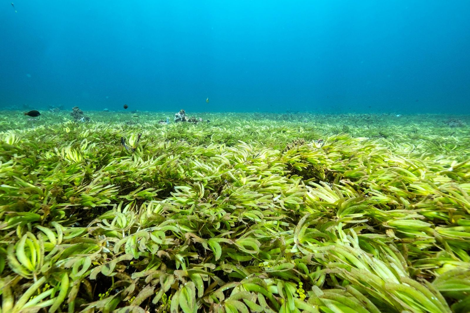 Seagrass are seen in the Indian Ocean above the world's largest seagrass meadow at the Saya de Malha Bank
